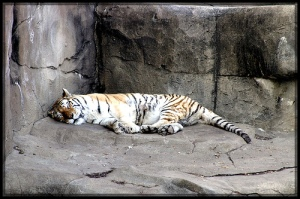 Brookfield Tiger Sleeping