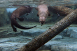 Otters in Their New Home