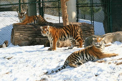 Three of the Five Tiger Cubs at St. Louis Zoo