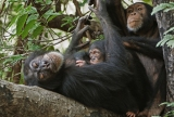 November Animal of the Month: Chimps