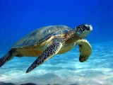 Animal of the Month: Sea Turtles
