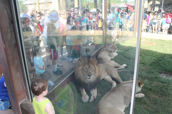 The lions enjoy hanging out where everyone can see them.