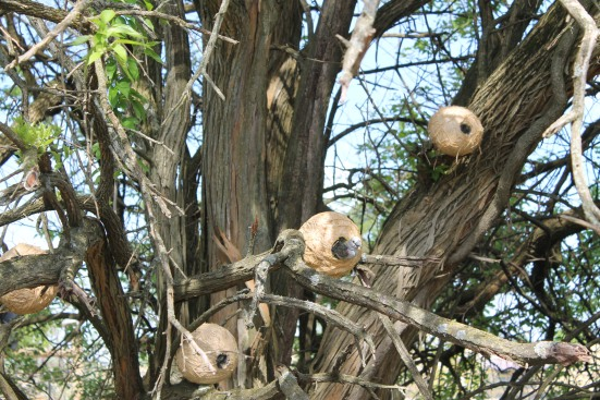 Weaver birds in the tree!