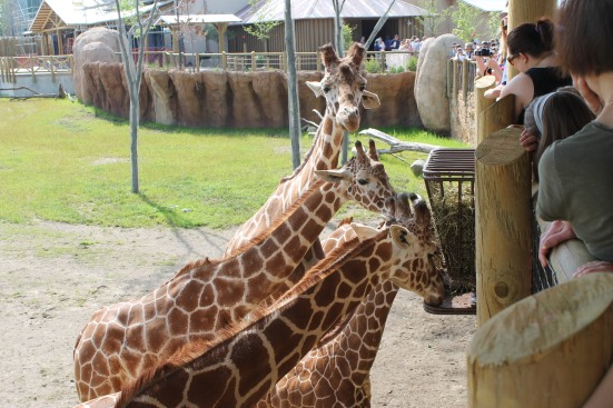 Giraffes munching when not being fed by the guests. Clever placement of feeder ensures the giraffe like to stay where the people are.