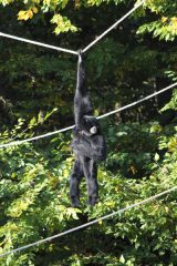 ZooLex Gallery Additions: SIAMANG EXHIBIT